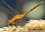 20120712 - 1 462 1c1 White-faced Meadowhawk.jpg