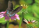 20120708 245 SERIES - Black Swallowtail.jpg