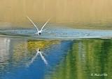 20120716 179 SERIES - Common Tern.jpg
