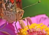20120806 D800 415 SERIES - Painted Lady.jpg