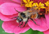 20120810 159 Tricolored Bumble Bee.jpg
