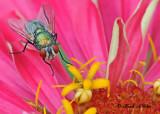 20120810 093 SERIES - Green Bottlefly.jpg