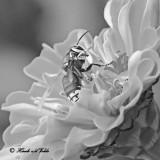 20120811 274 1c1 bw Bald-faced Hornet.jpg