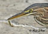 20120816 340 1c SERIES - Green Heron.jpg