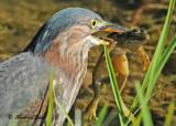20120818 090 SERIES - Green Heron.jpg