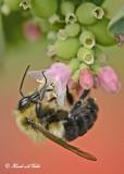 20120823 293 Bumble Bee.jpg