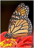 20120823 266 Monarch 2c1r1.jpg