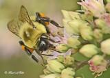 20120823 344 Bumble Bee.jpg
