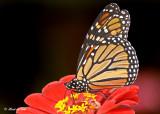 20120823 266 Monarch2 1c2.jpg