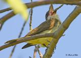 20120829 465 SERIES - Thick-billed Kingbird.jpg