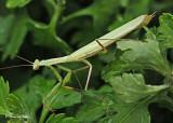 20120729 219 SERIES - Praying Mantis.jpg
