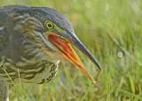 20120815 194 1c Green Heron.jpg