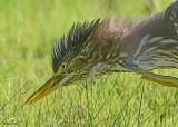 20120815 253 Green Heron.jpg