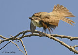 20120829 328 SERIES - Thick-billed Kingbird.jpg
