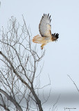20071228 015 Red-tailed Hawk.jpg