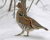 20071230 222 Ruffed Grouse.jpg