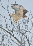 20071228 014 Red-tailed Hawk2.jpg
