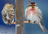 redpolls_finches_sparrows_2008