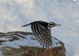 20071221 206 Hairy Woodpecker.jpg