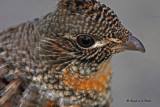 20080110 003 Ruffed Grouse SERIES.jpg