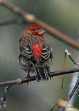 20080110 168 House Finch (male).jpg