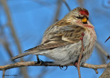 20080102 177 Common Redpoll (male).jpg