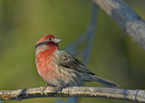 20071210 168 House Finch male.jpg