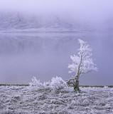 White Lightning Tree