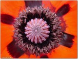 East Sussex Poppy