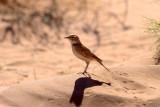 BIRDS of NAMIBIA :- Etosha, Sossusvlei, Namib Desert