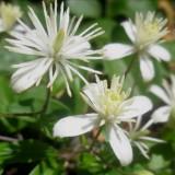 Clématite blanche