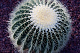 17761 Golden Barrel Cactus I