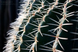 17763 Golden Barrel Cactus II