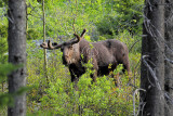 GNP Moose - June 2011