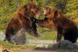 Grizzly Fight at Grizzly Reserve - September 2011