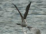Smithville Lake Gulls