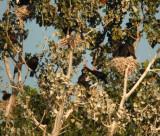 Gannets through Frigatebirds