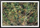 Cometocino (Phrygilus patagonicus)