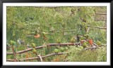 Banda de Choroy (Enicognathus leptorhynchus)