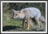 Patagonia: Gray Fox