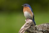Bluebirds & Mimics
