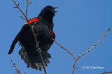 Blackbirds & Orioles