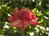 A Wax Rose in the Diamond Botanical Gardens near La Pearle, Soufrière