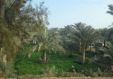 Date Palm Plantation Sakkara Egypt