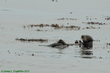 California Sea Otter feasting on a crab