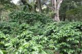 Plantaciones de Cafe en las Faldas del Volcan