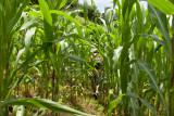 En el Volca se Cultiva Maiz
