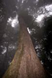 Arboles Gigantes en la Cumbe del Volcan