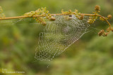 Tela de Araña con Rocio del Amanecer