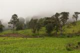 Cultivos de Maiz Caracteristicos de la Falda del Volcan